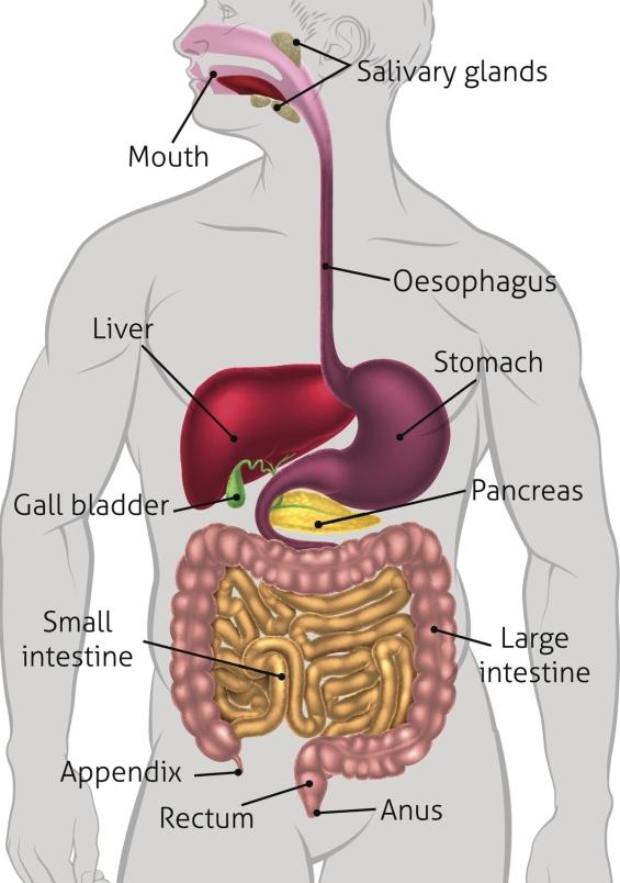 anatomy-of-digestive-system.jpg